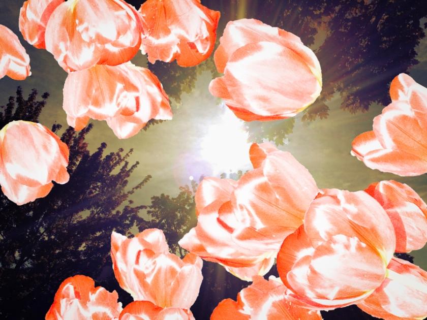 Tulips-Rays-SM.jpg